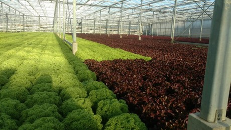 Prices of lettuce varieties doing well