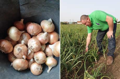 Egypt quality Onions