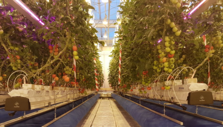 Zo ziet de toekomst voor Noorse telers er waarschijnlijk uit. Een gesloten systeem met gebruik van ledverlichting en 'gewoon' groeilicht. De blauwe pijpen op de grond blazen gematigde, CO2-rijke lucht. De lucht wordt achter de plastic wanden aan het eind van de plantenrijen weer opgevangen. De tomatenplanten groeien in potten in steenwollen matten en krijgen voeding via druppelirrigatie via de witte 'spaghettislangetjes' die in iedere pot zijn gestoken. (Foto: Michel Verheul, NIBIO)