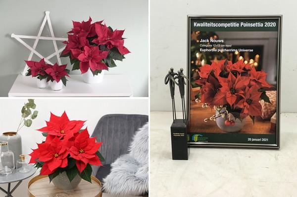 Poinsettias For Christmas 2021 Poinsettia Christmas Universe Wins Quality Award 2020