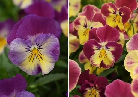 Kleur Veel Kleur : Panamerican seed belooft veel kleur naar ipm essen te brengen
