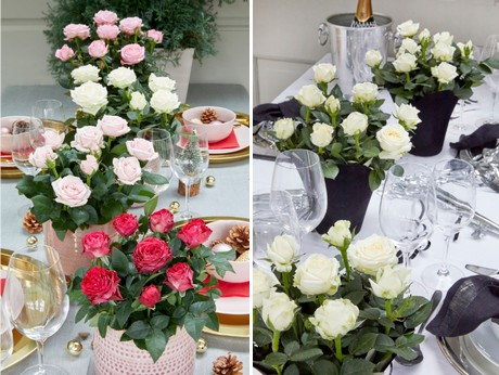 Pot roses take piece of the pie in holiday celebrations