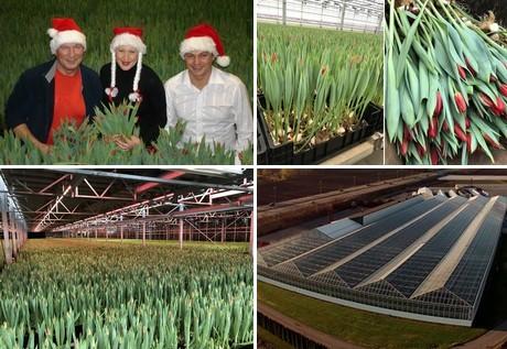 Norwegians warm up to Christmas tulips