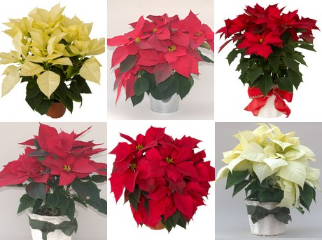 New Poinsettia Series Meets All The Demands For Heat Tolerance