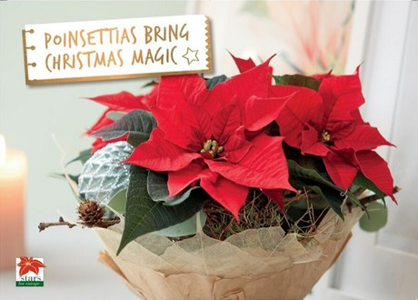 Turning The Poinsettia Into A Trendsetter