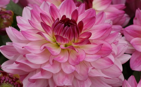 Sincerity Dahlia Canada Blooms Flower Of The Year 2020