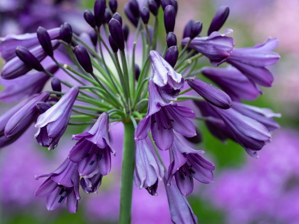 Adds Agapanthus Poppin Purple