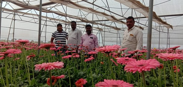 Indian Gerbera Grower Thrives Again After Massive Investment Was Gone In Water