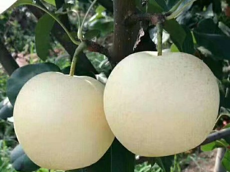 New zealand orchards asian pear export
