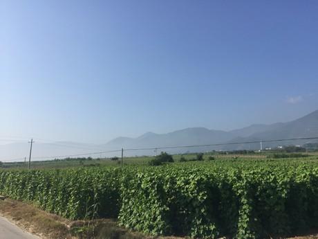 Green beans from Yunnan enter market in bulk