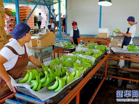 Banana exports from Philippines to China grow stronger