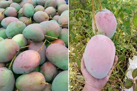 Chinese consumers love Keitt mangoes