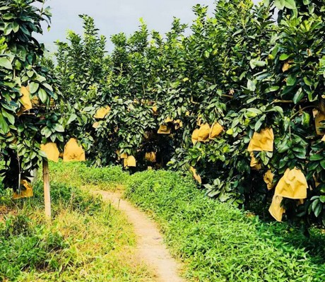 Pomelo fruit season - Grow plants