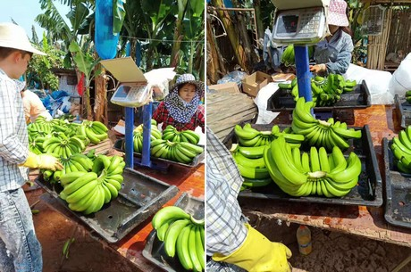 High banana price almost more than the Chinese market can handle""