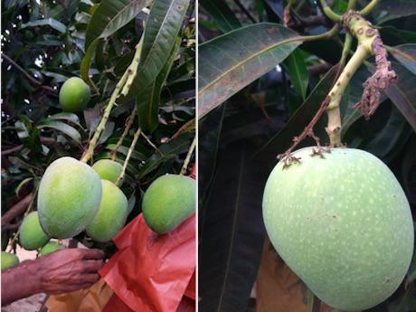 First Indian mangoes will enter Chinese market soon