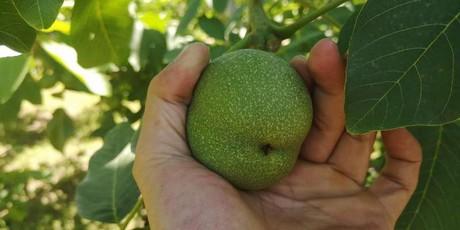 Fresh walnut season in Xinjiang starts at the end of July