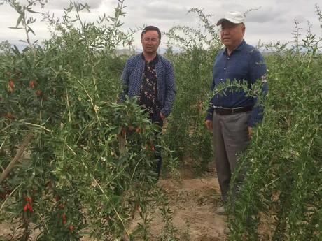 China Overseas Markets Demand Better Quality Goji Berries