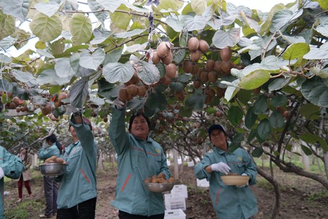 China Kiwi Fruit Started High But Prices Continue To Decline