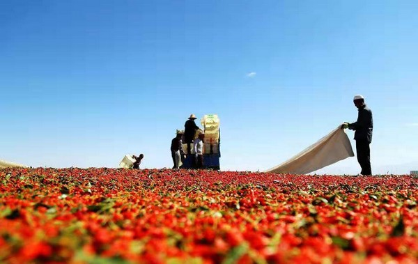 High Temperatures Benefit Chinese Goji Berry Production In Ningxia