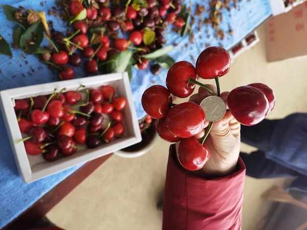 First Chinese cherries from Dalian greenhouses enter the market