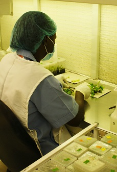 Southern Africa's only banana tissue culture lab
