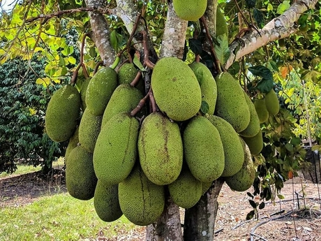 AU: Durian production growing in the Northern Territory