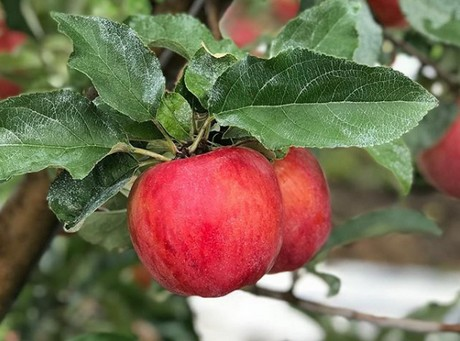 Autumn Glory Apple Production Increases Year Round Availability In