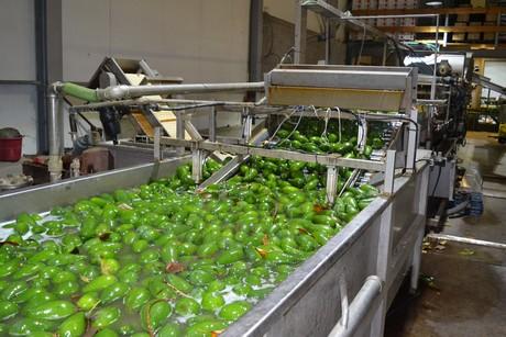 Israeli company supplies avocados year-round