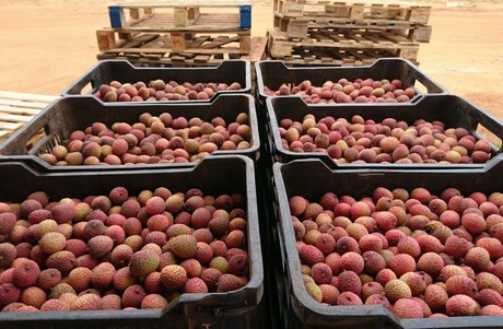 Start of third South African lychee season for US importer