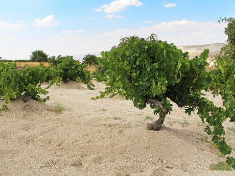 Fewer Turkish grapes available