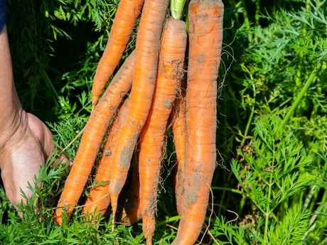 North American carrot supplies tightening