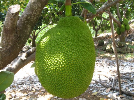 US jackfruit importers deal with tight supplies