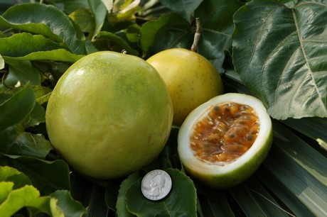 passionfruit a challenging prospect for florida growers rh freshplaza com