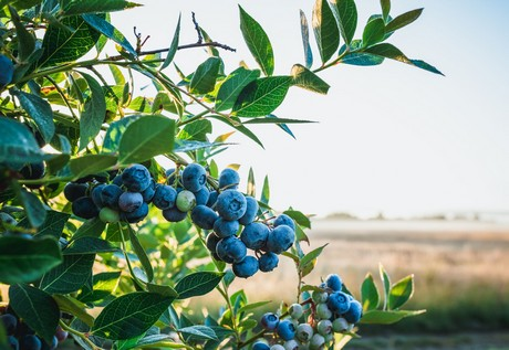 Organic performing well in already solid Chilean blueberry