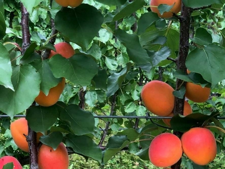 New Zealand apricot growers excited by the release of new