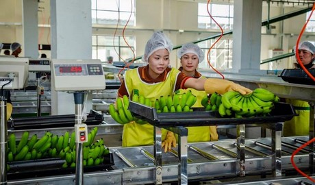 Cambodian banana firms receive green light for direct China exports