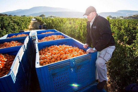 Importers expect strong and stable South African citrus season