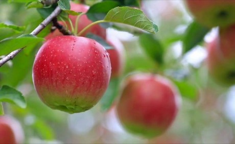 Michigan apple supplier gears up for 2019 harvest