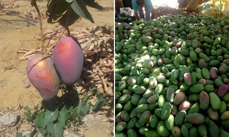 """We are much closer to Europe than other mango producing countries"""""""