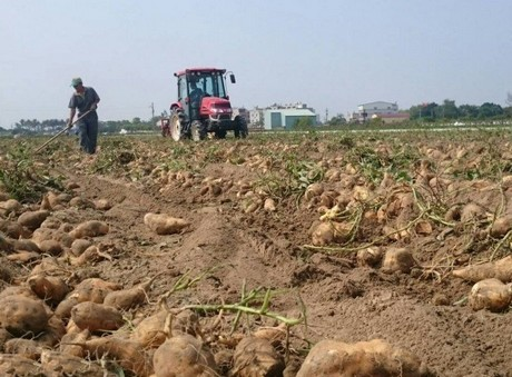 Taiwan: Sweet potato enters global market