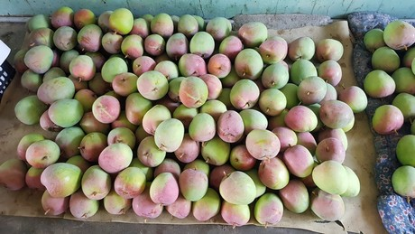 Vietnamese mango industry increases production to meet