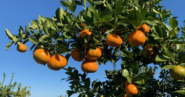 Us Current Volume Low On Mandarins And Clementines