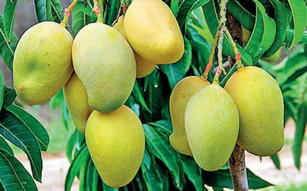 Sri Lanka: New mango variety discovered