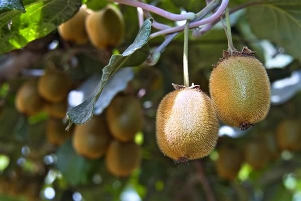 Less Chilean Kiwi Fruit Shipped To The Us This Season