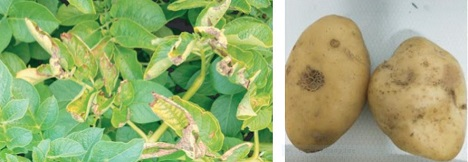 New potato disease