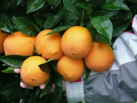 Manufacture industrial citrus fruit