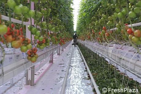 Serres technologiques : la récolte des tomates d'hiver a
