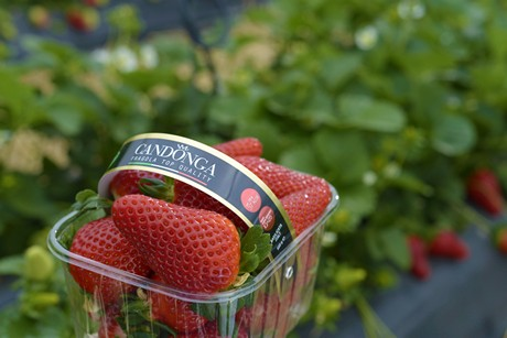 357f133694cb Club Candonga will showcase a new packaging at the international  horticulture fair. Suriano continued