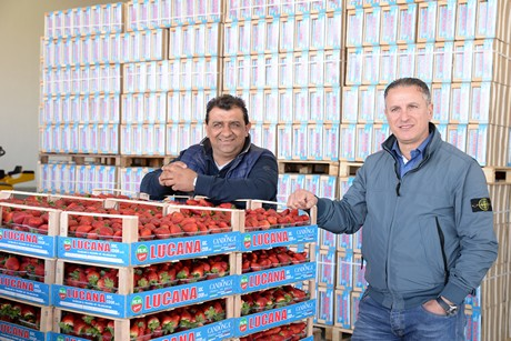 be551d70952d The harvesting of Candonga strawberries has started in Basilicata