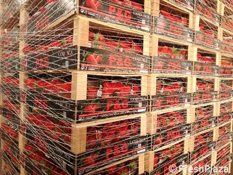 d50e6fb5fb64 P G  700 tonnellate di fragole Candonga in tutta la campagna 2019